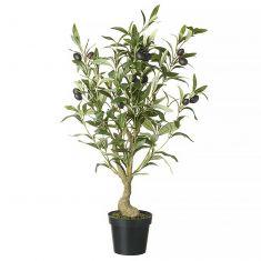 Evergreen Olive Tree